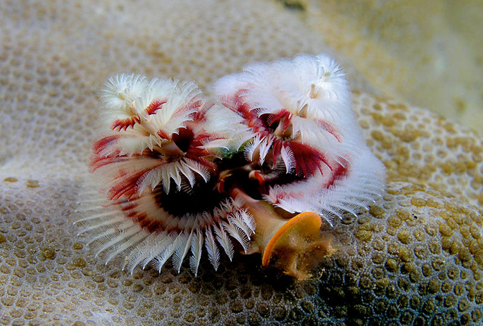 Christmas Tree Worm, Spirobranchus giganteus