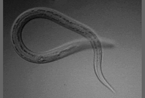 New World Hookworm, Necator americanus