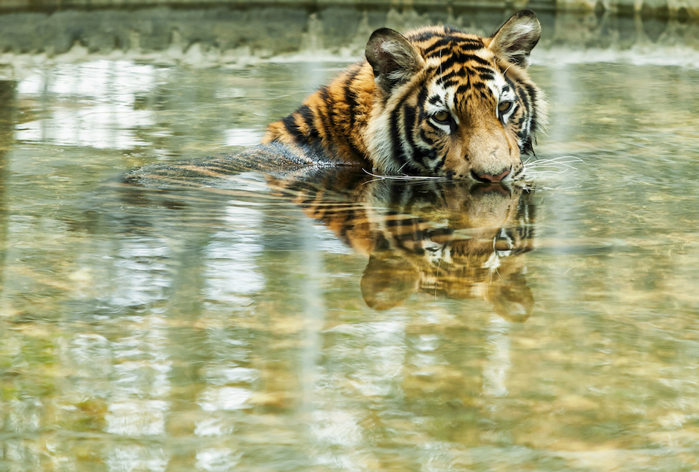 Catastrophic Bangladesh oil spill endangers rare species, including dolphins and tigers