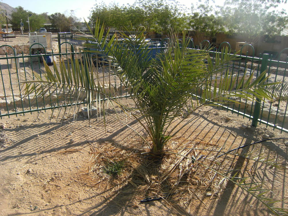 Date palm grown from 2000-year-old seed is now a dad