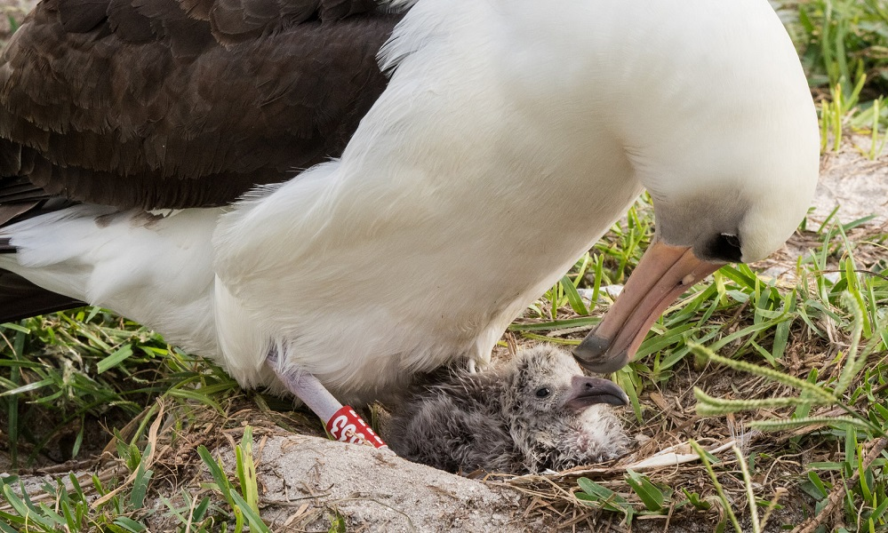 World's oldest wild bird just hatched another egg at 66
