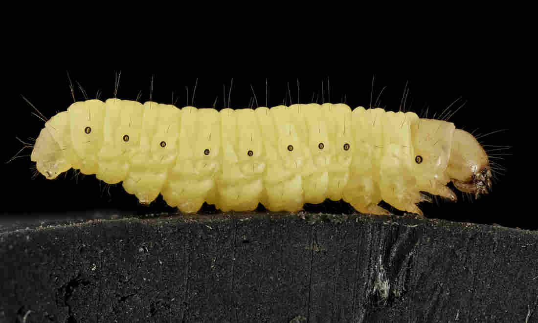 This caterpillar could be the key to biodegradable plastic