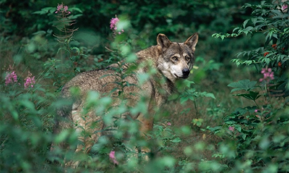 Fossils suggest all domestic dogs trace back to a single wolf population