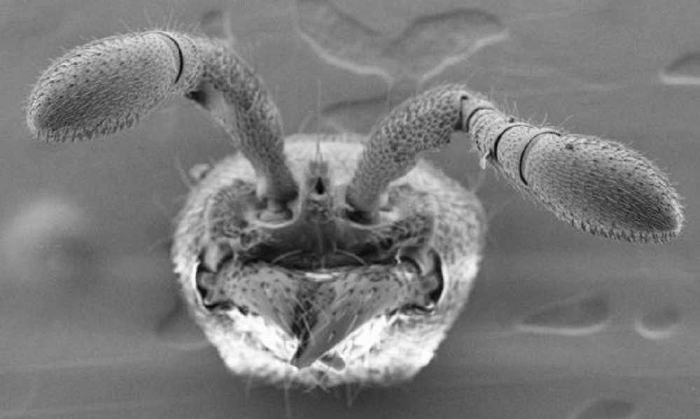 Scientists create the first mutant ants using CRISPR